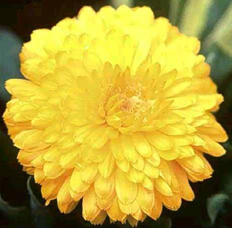 Las flores de Raff